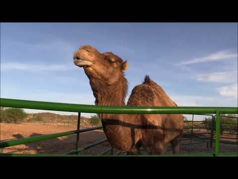 The camels broke another fence! Do camels love triangles? (VLOG)
