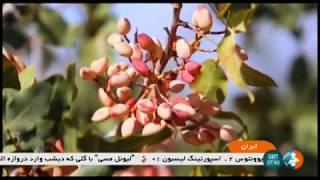 Iran Pistachio harvest & packaging report گزارشي از برداشت و بسته بندي پسته ايران