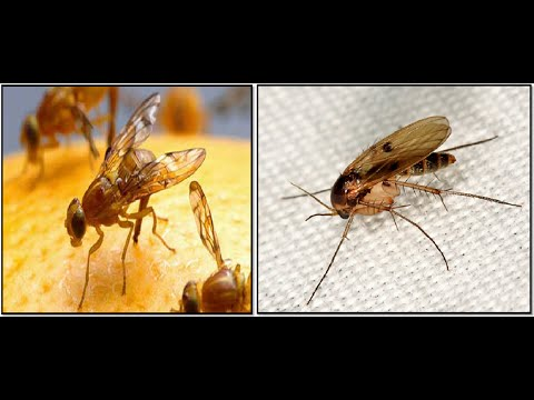 How to get rid of fruit flies and gnats in house, kitchen, fridge fast overnight