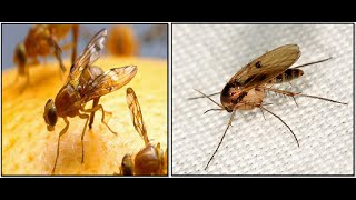How To Get Rid Of Fruit Flies And Gnats In House Kitchen Fridge Fast