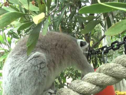 Oakland Zoo Lemur 2