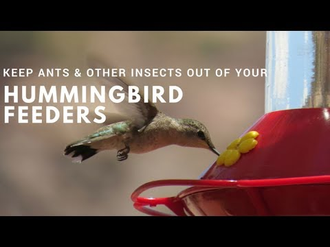 How to Keep Ants & Other Insects Out of Hummingbird Feeders