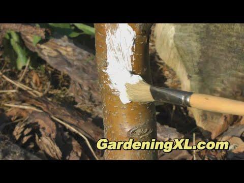 Whitewashing a Tree Trunk / Whitening Trees / Paint Tree White