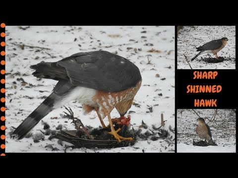 Sharp-Shinned Hawk caught a Starling ~  Warning not for the faint at heart