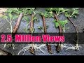 How To Grow Roses From Stem Cuttings Easy Way