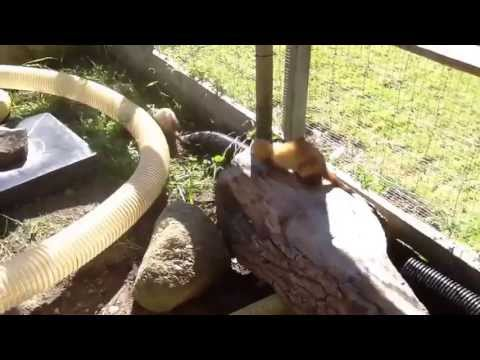 Outdoor Ferret Court Enclosure