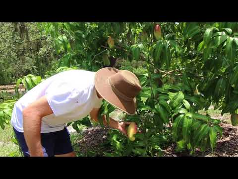 Our Valencia Pride Mango Tree - Picking fruit and pruning