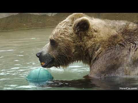 2020 Toronto Zoo. Playful Grizzly Bear. Avoid coronavirus COVID-19 (4K)