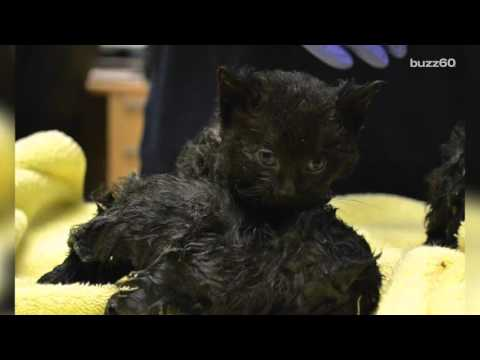 Helpless Kittens Rescued After Being Stuck to Glue Traps