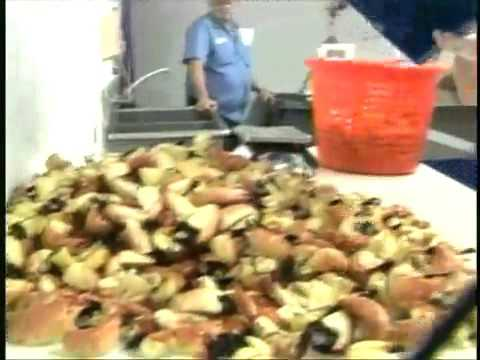 Billy's Stone Crab Commercial of Harvesting Stone Crabs
