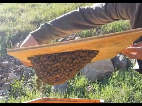 Bee Swarm Trap - FREE BEES : )
