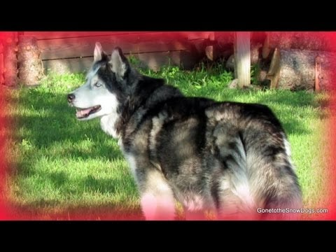 Husky Puppy Play and Firework Tips to keep your dog Happy