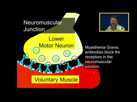 Acetycholine Synapse: Nicotinic and Muscarinic Receptors, Myasthenia Gravis and Sjogren's Syndrome