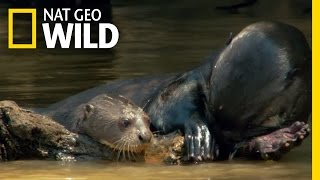 A Baby Otter Learns to Swim | Destination WILD
