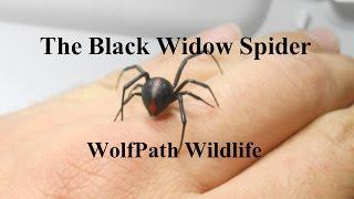 Download Black Widow Spider on my Hand - WolfPath Wildlife Ep. 8 Video