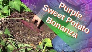Harvest Purple Sweet Potato Bonanza In The Deep Mulch Garden 10-17-2021