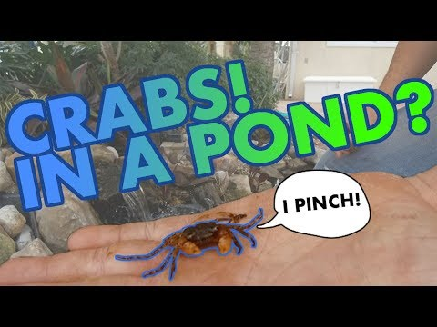 CRABS MAKE THEIR HOME IN A BACKYARD POND!