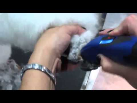 Dog Grooming - Trimming Poodle Paws