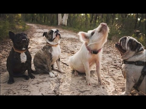 Adorable House Pig Acts Just Like Her Dog Siblings