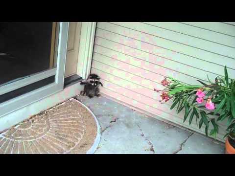 Cute baby raccoon pretecting house