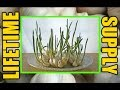 How To Grow GARLIC Endless Supply from Cloves Indoors at Home Forever