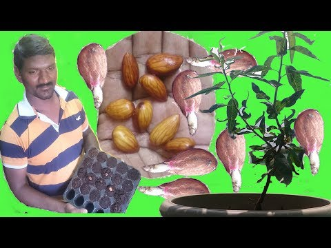 How to Grow Almond Tree From Seeds at home Easy Process DIY
