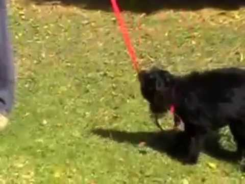 how to leash train a dog that won't walk|The online Dog Trainer