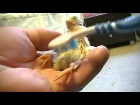 Baby Chicken brought back from being