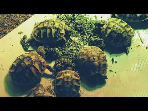 Our Herman Tortoise Hatchlings eating Testudo Original