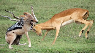 Jackal Too Crowded, Mother Impala Encountered Many Difficulties When Save Her Baby From Jackal Hunt