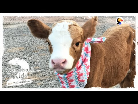 Xxx Mp4 Family Brings Baby Cow Into Their Home During Hurricane The Dodo Comeback Kids S02E01 3gp Sex