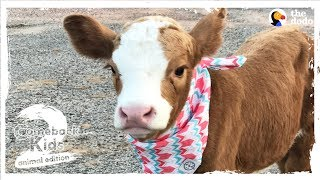 Family Brings Baby Cow Into Their Home During Hurricane   The Dodo: Comeback Kids S02E01