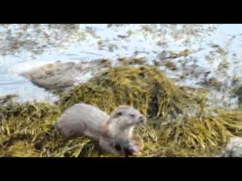 Otter Watching in Yell, Shetland Islands