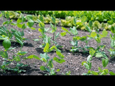 Succession Planting: How to Get High Yield Crops All Season Long