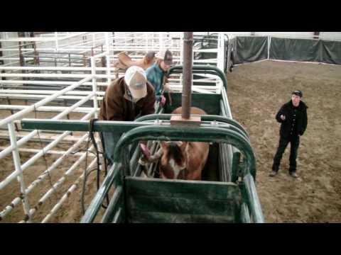 Saddle Bronc Riding 101- Measuring Bronc Rein