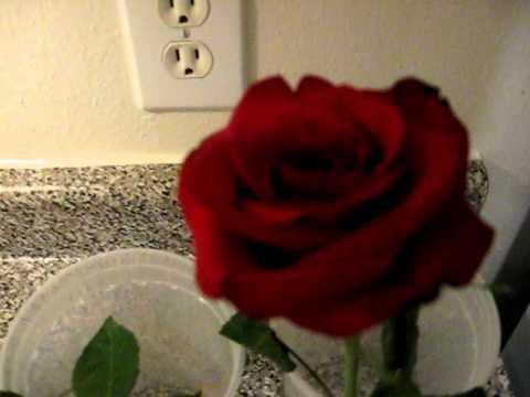 Solution Keeps Cut Flowers (Roses) Healthier Longer - Rose Experiment Setup - Part 1