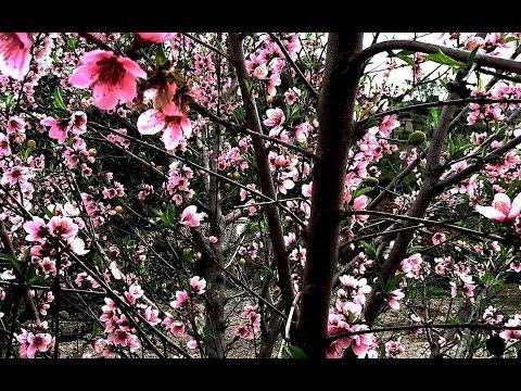 Pruning Peach & Nectarine Trees