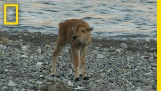 Baby Bison Takes on Wolf and Wins | America