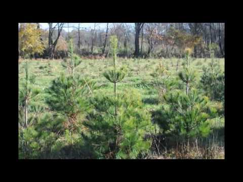 4 to 5 Ft Evergreens We Dig at Highland Hill Farm   White Pines and Norway Spruces