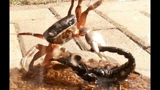 Download Black Scorpion vs Halloween Crab Video