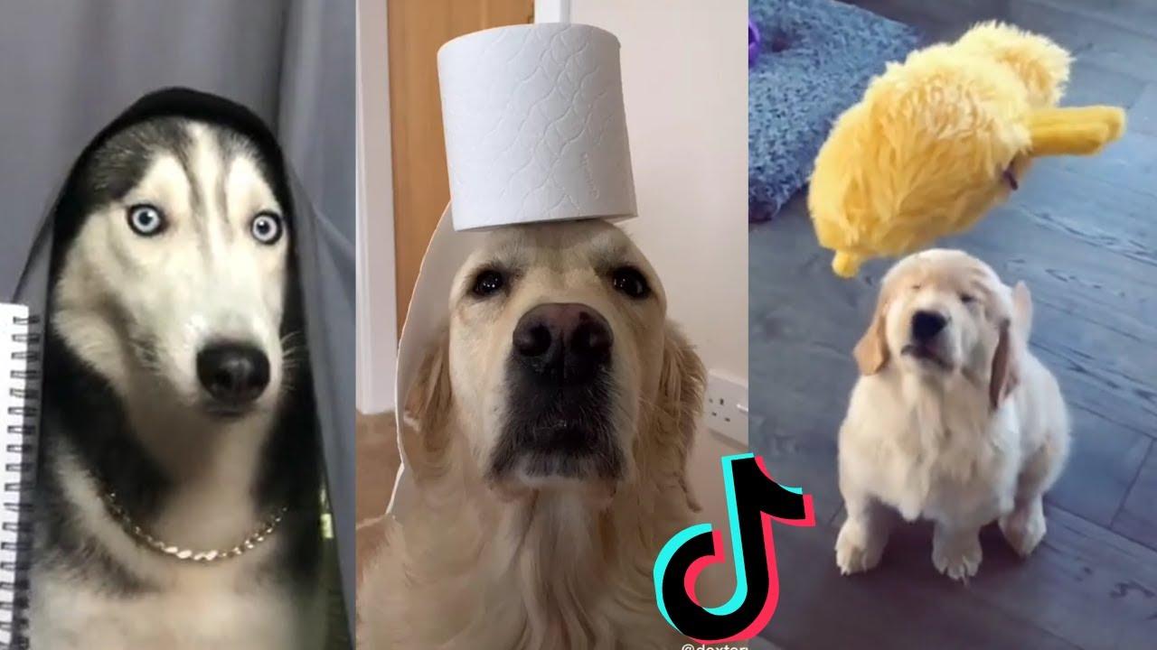 Funny Dogs of TikTok ~ Doggos Doing Funny Things TIK TOK ~ 2020