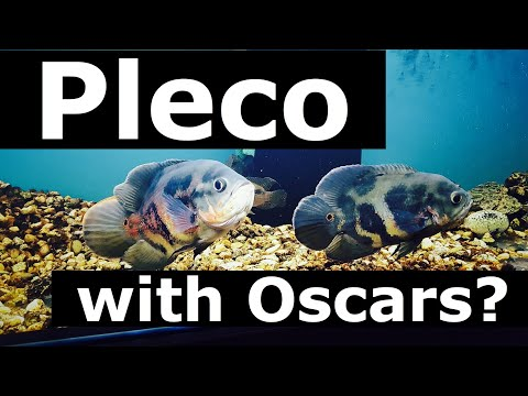 Pleco with Oscar Fish? or Other Catfish?