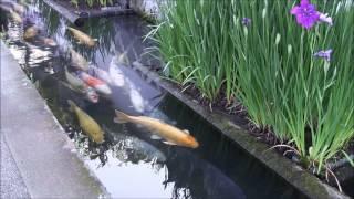 Người Nhật nuôi cá koi dưới rảnh thoát nước siêu đẹp