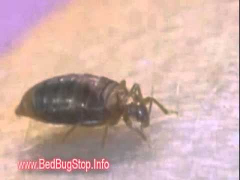 Bed Bug Vancouver | Bed Bugs in Vancouver