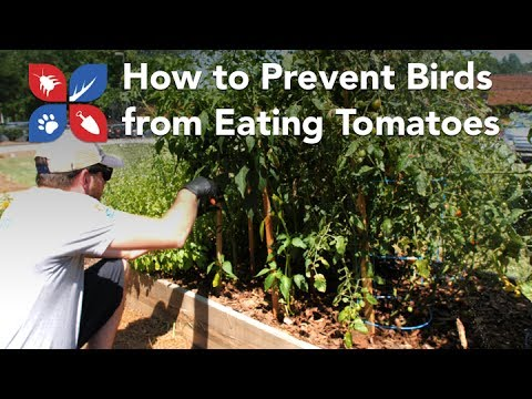 Do My Own Gardening - How to Prevent Birds from Eating Tomatoes - Ep10