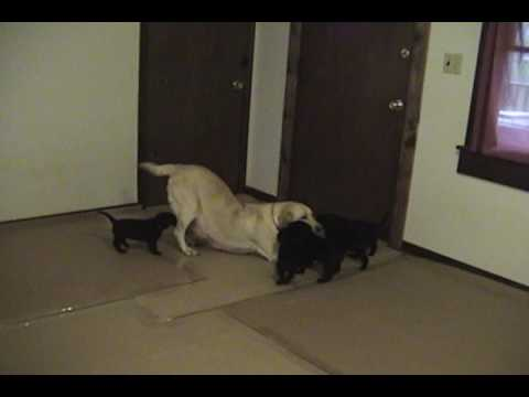 Sasha playing with her 4 week old puppies!