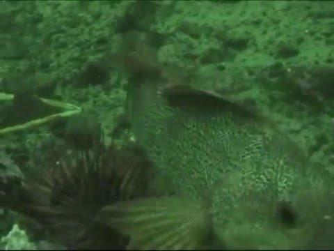 Green Sea Urchin Harvesting in British Columbia