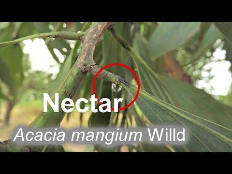 Acacia mangium Willd - Nectar