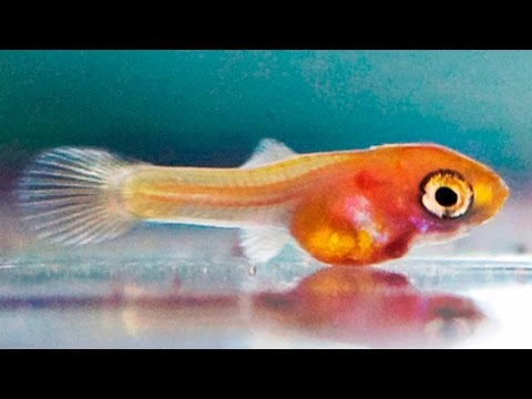 How to DRAMATICALLY increase growth rates of guppy fry - My Top 10 Tips ᴴᴰ