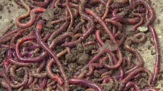 Vermi Compost (केंचुआ खाद) - वर्मीकम्पोस्ट बनाने की विधि